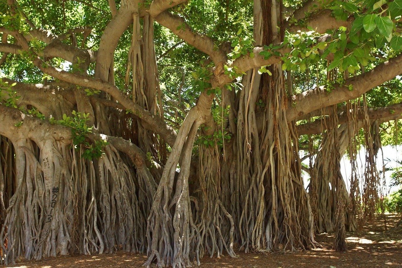 banyan-tree-1049021_1280